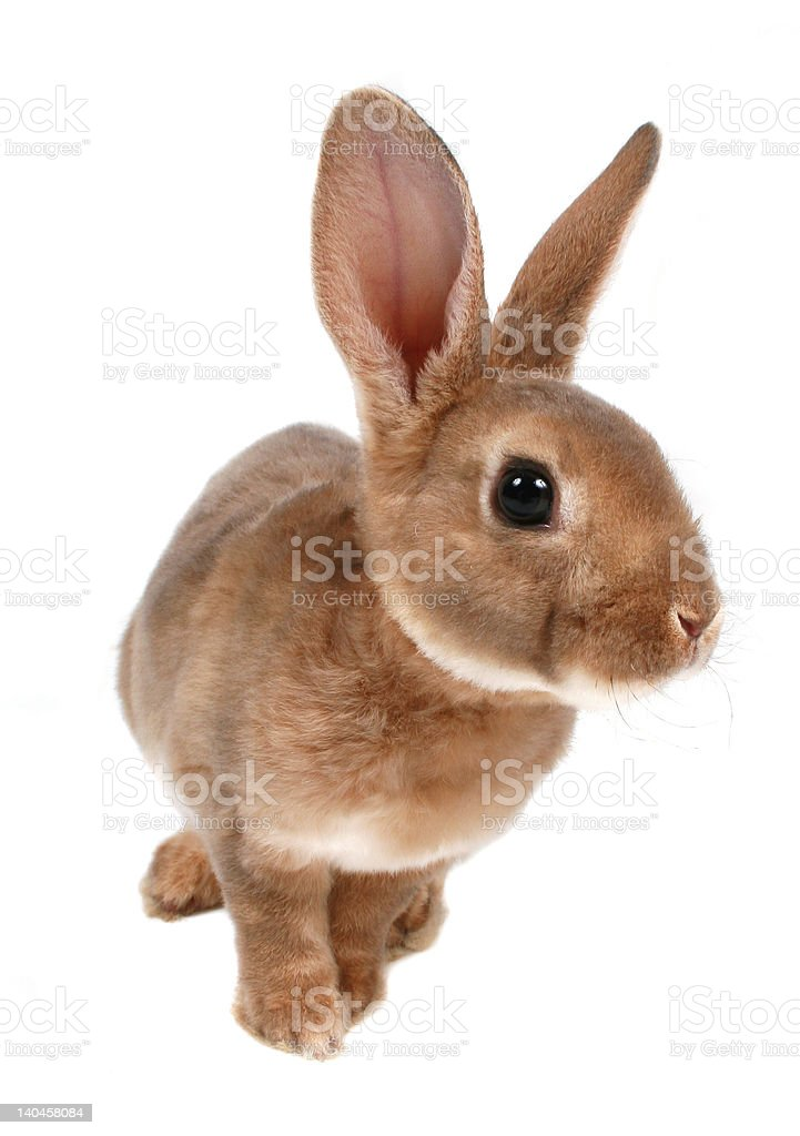 Baby Bunny Isolated on White royalty-free stock photo