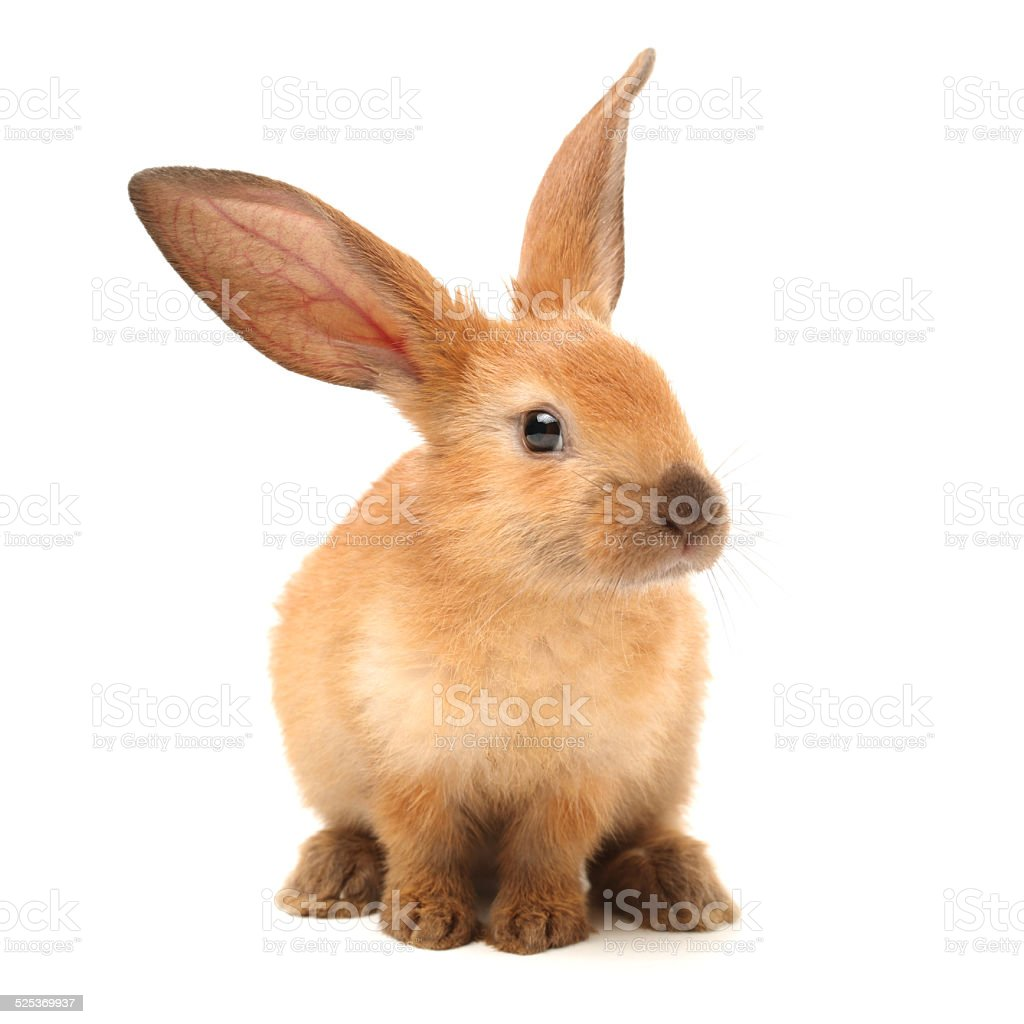 Baby Bunny stock photo