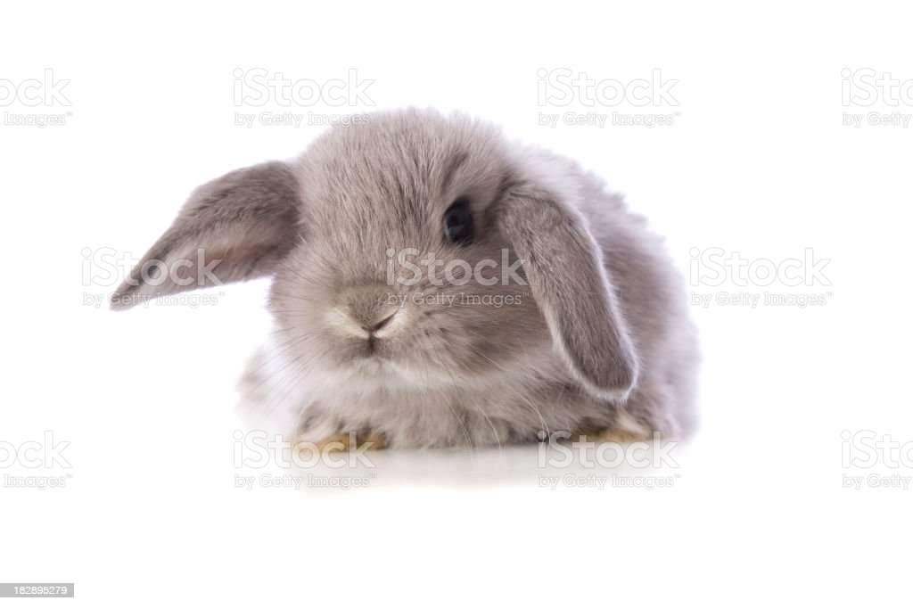 Baby Bunny Rabbit royalty-free stock photo