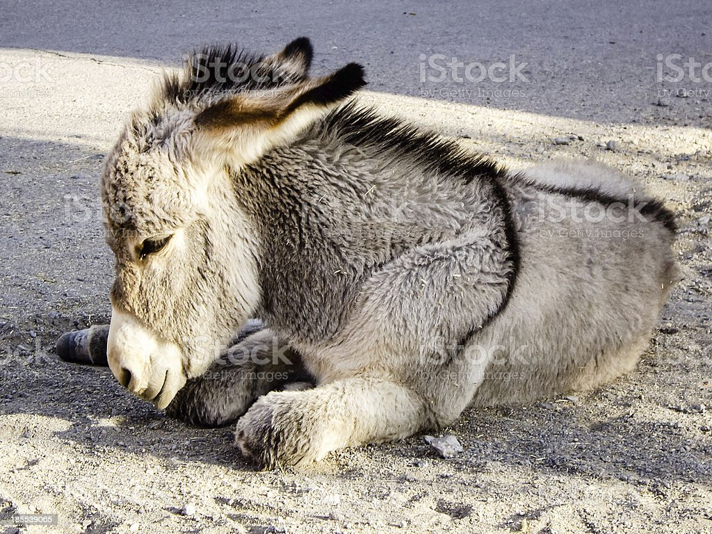 Baby Burros Nap Time royalty-free stock photo