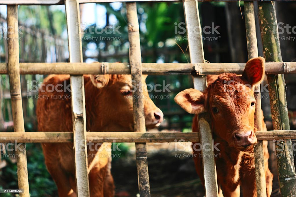 baby calf in cage stock photo