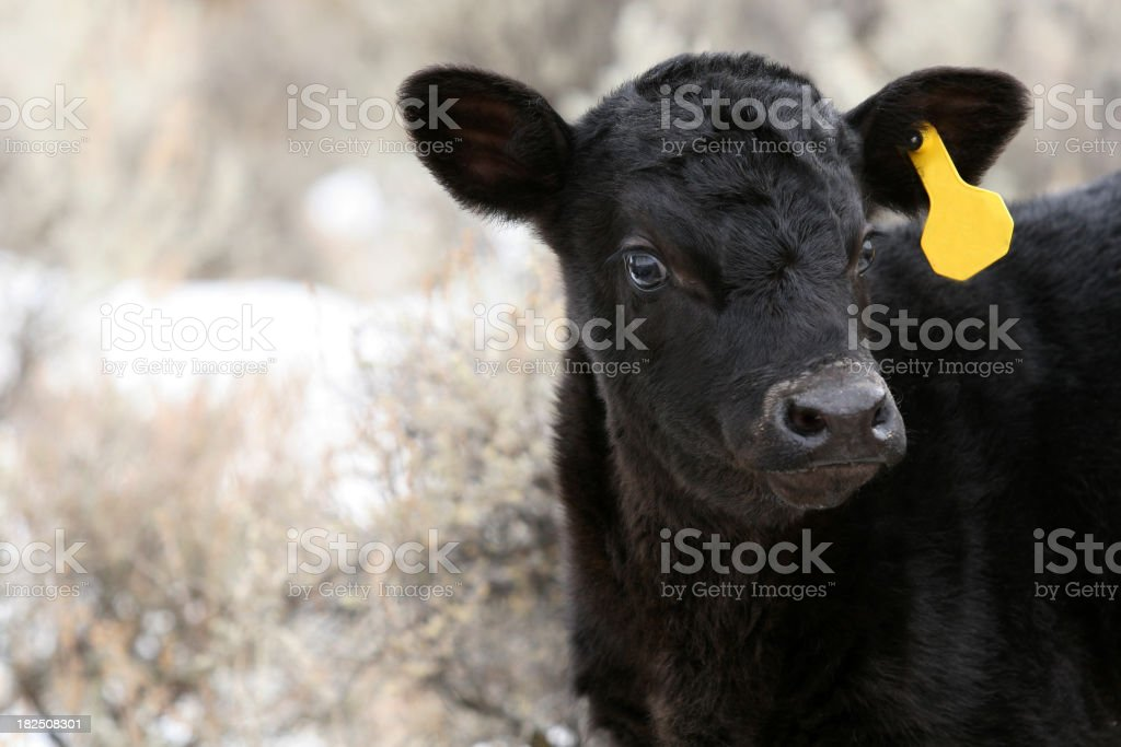 Baby Calf stock photo