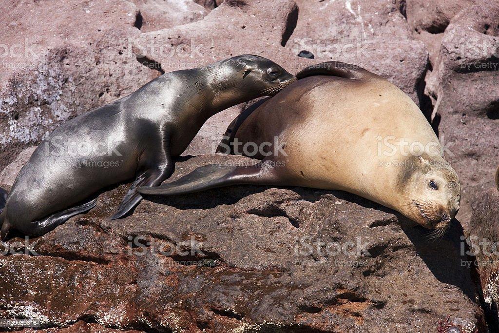 Baby California Sea Lion stock photo