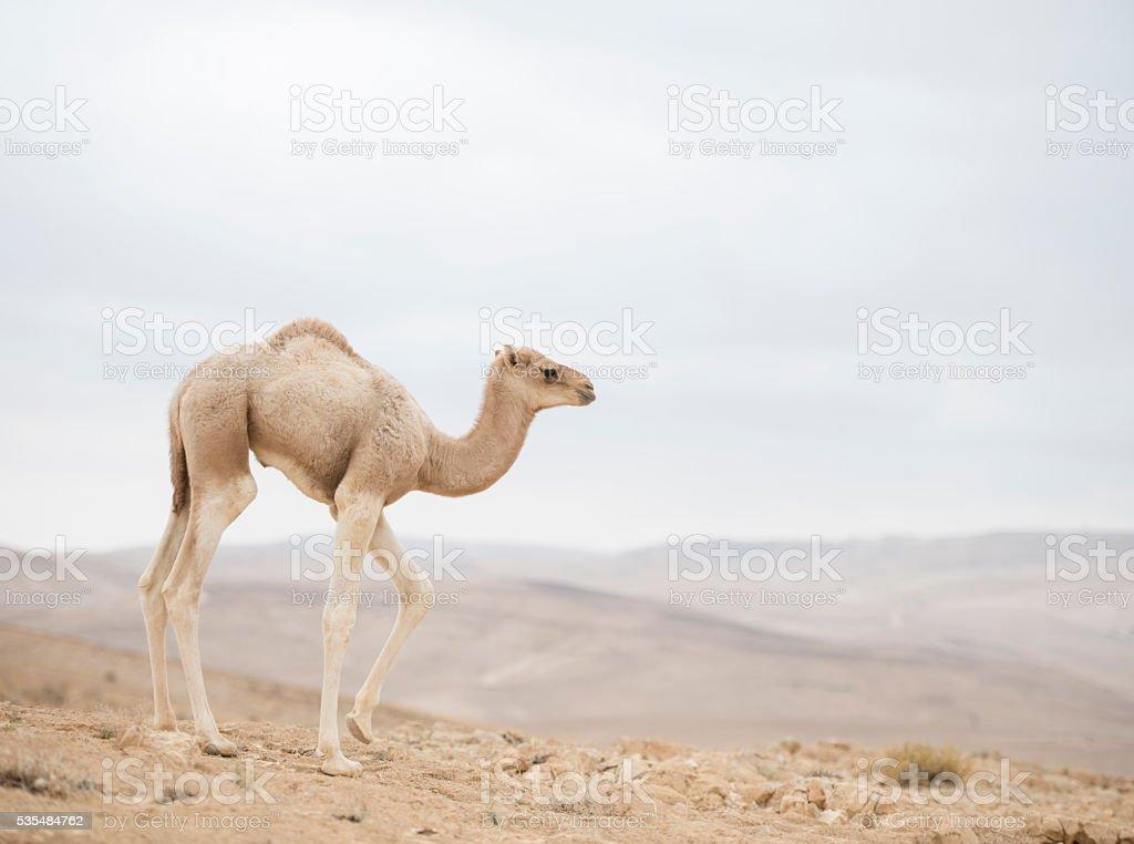 Baby camel. stock photo