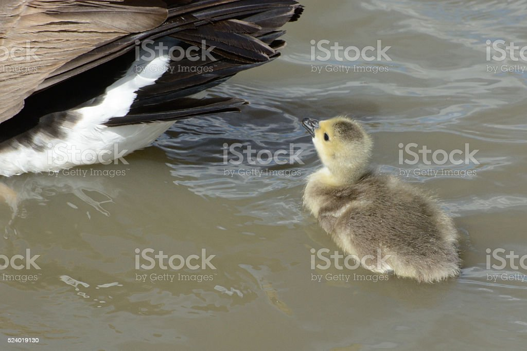 Baby Canada Goose Gosling stock photo