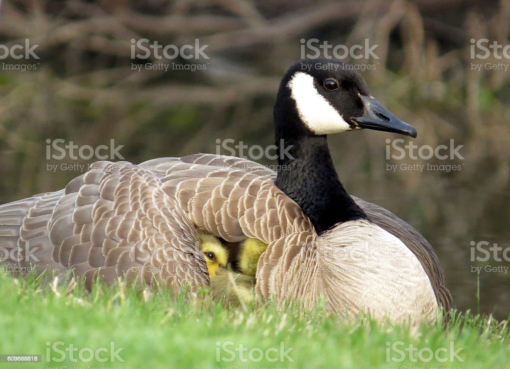 Baby Canada Goose Goslings Under Wing of Mother Canada Goose stock photo