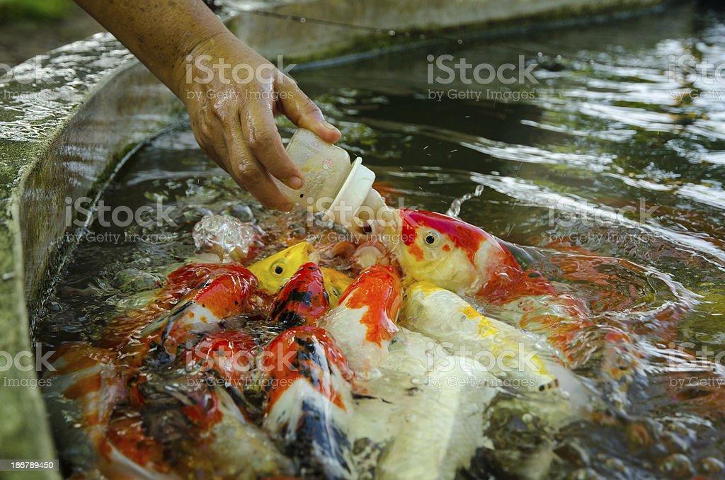 Baby carp fish. royalty-free stock photo