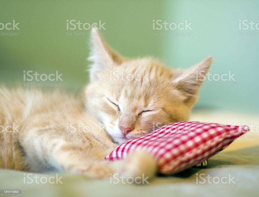 A baby cat taking a nap supported by a little pillow  stock photo