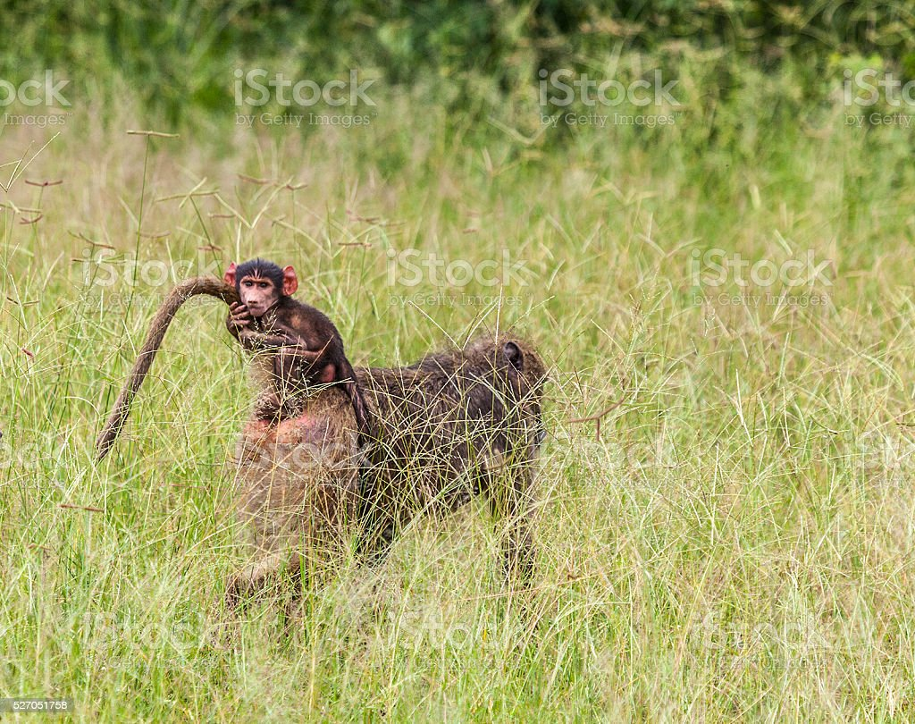 Baby Chacma Baboon clinging tightly to mother's tail while riding. stock photo