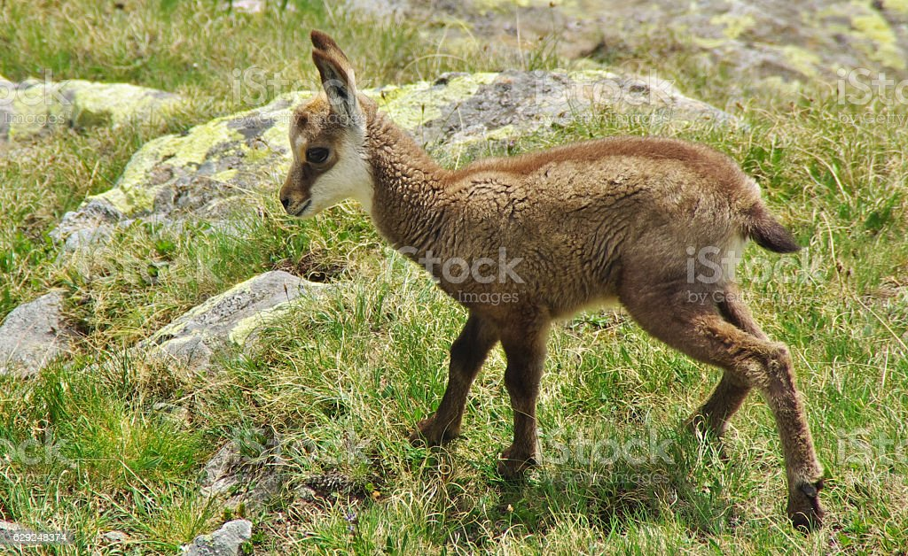 Baby chamois on the grass stock photo