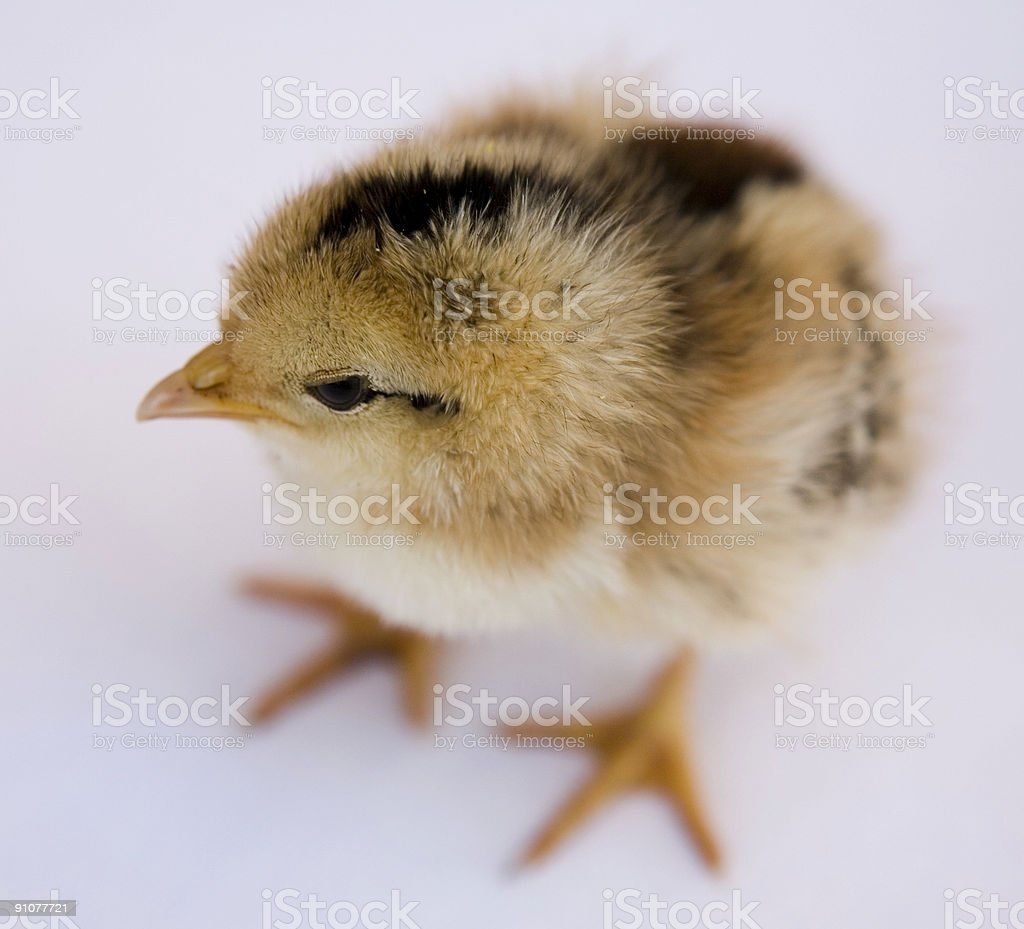 Baby chick against white royalty-free stock photo