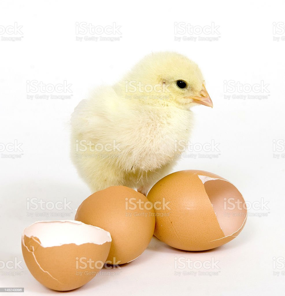 Baby chick and brown eggs stock photo