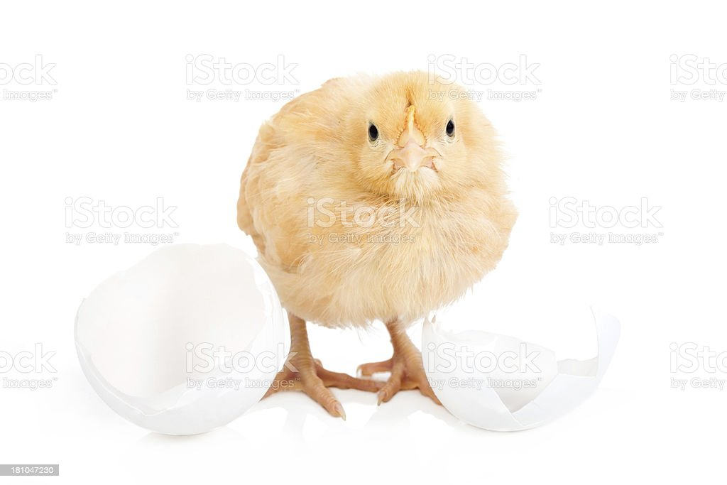 Baby chick breaking out of his shell royalty-free stock photo