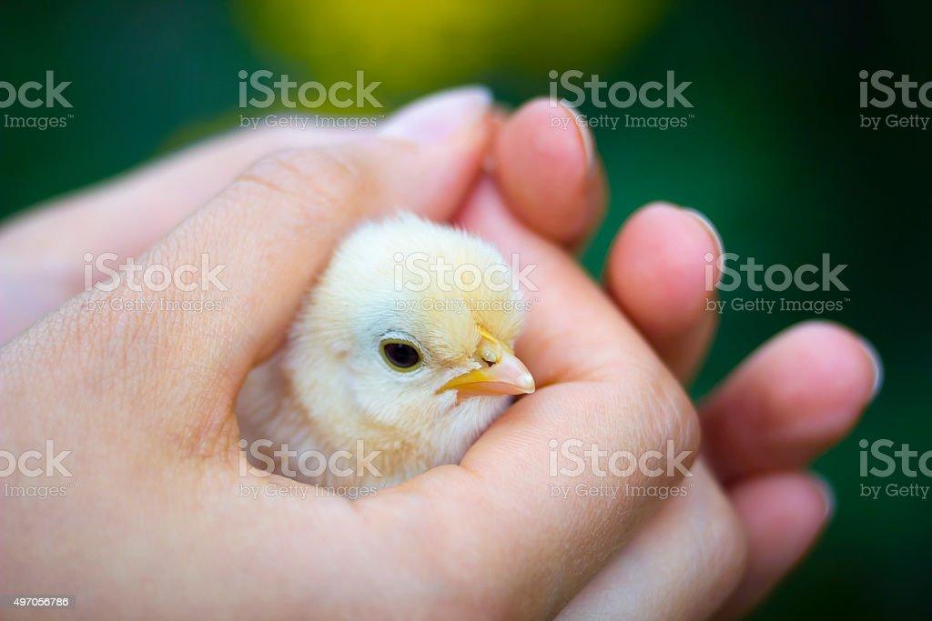 Baby chick in girl's hand stock photo