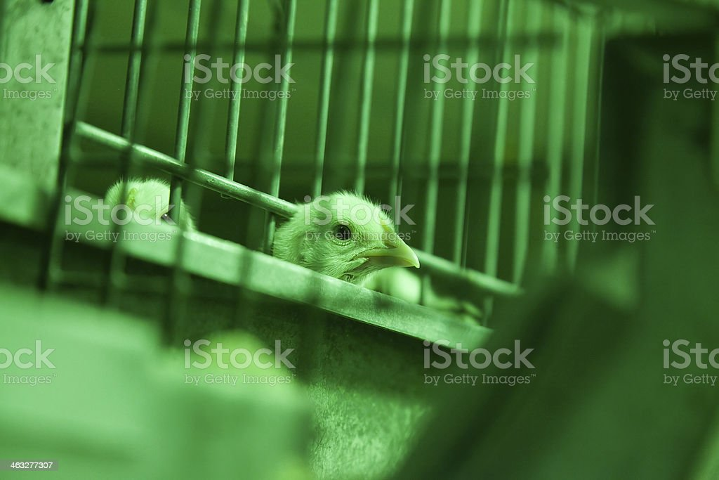 baby chick in incubator stock photo