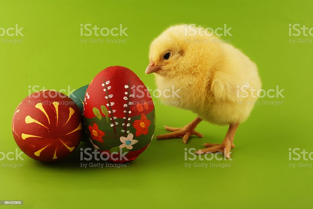Baby chick inspecting three Easter eggs royalty-free stock photo