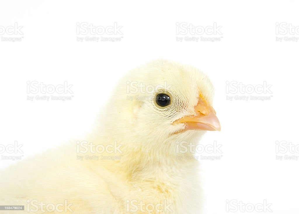 baby chick on white background royalty-free stock photo