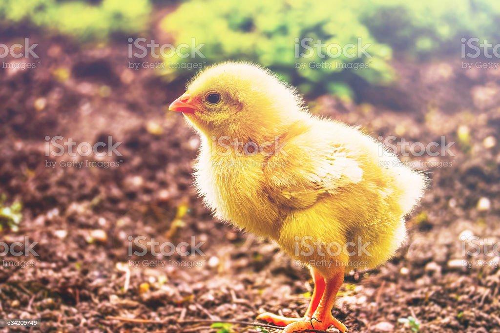 Baby chicken 2 days stock photo