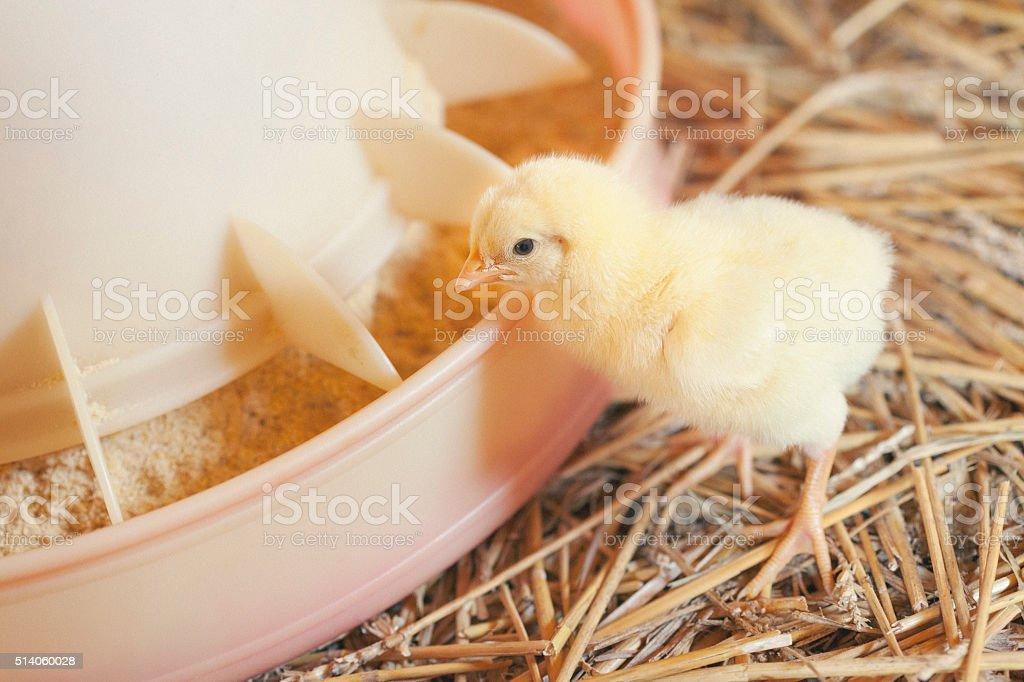 Baby chicken at farm feeding stock photo