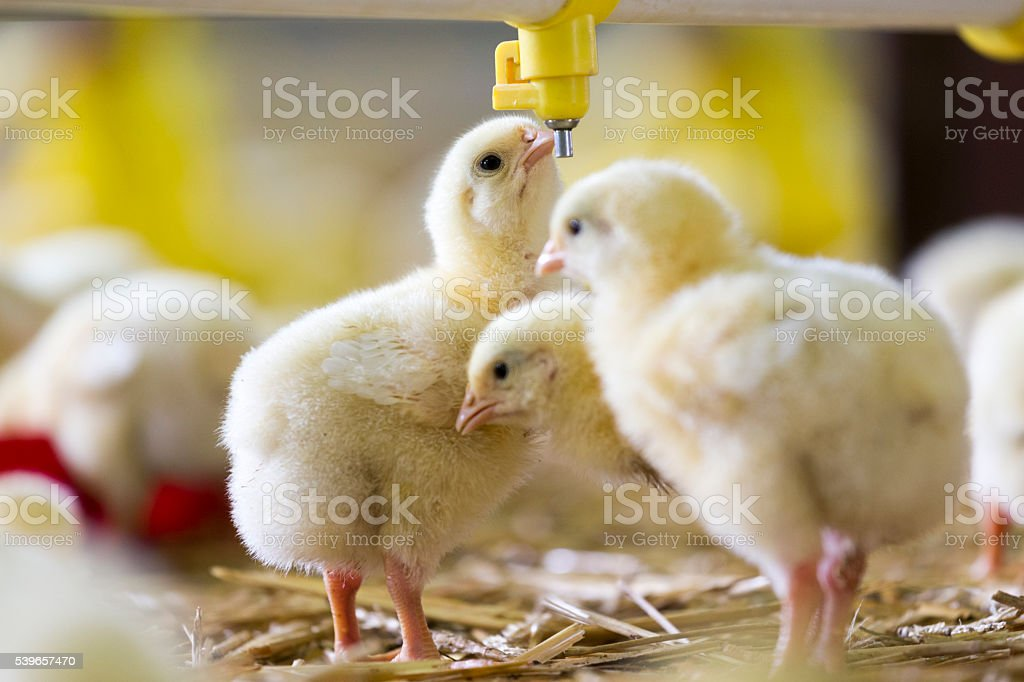 Baby chicken at the farm drinking water stock photo