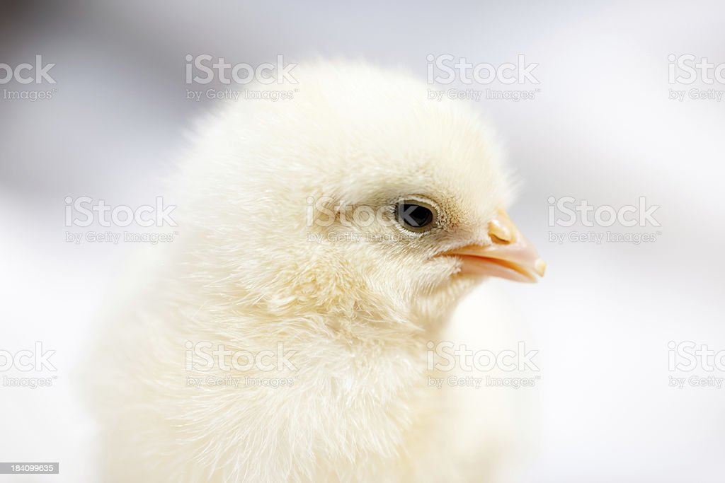 Baby chicken  close up and defocused background royalty-free stock photo