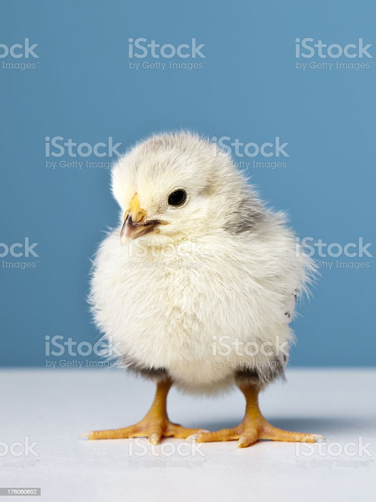 Baby Chicken close-up royalty-free stock photo
