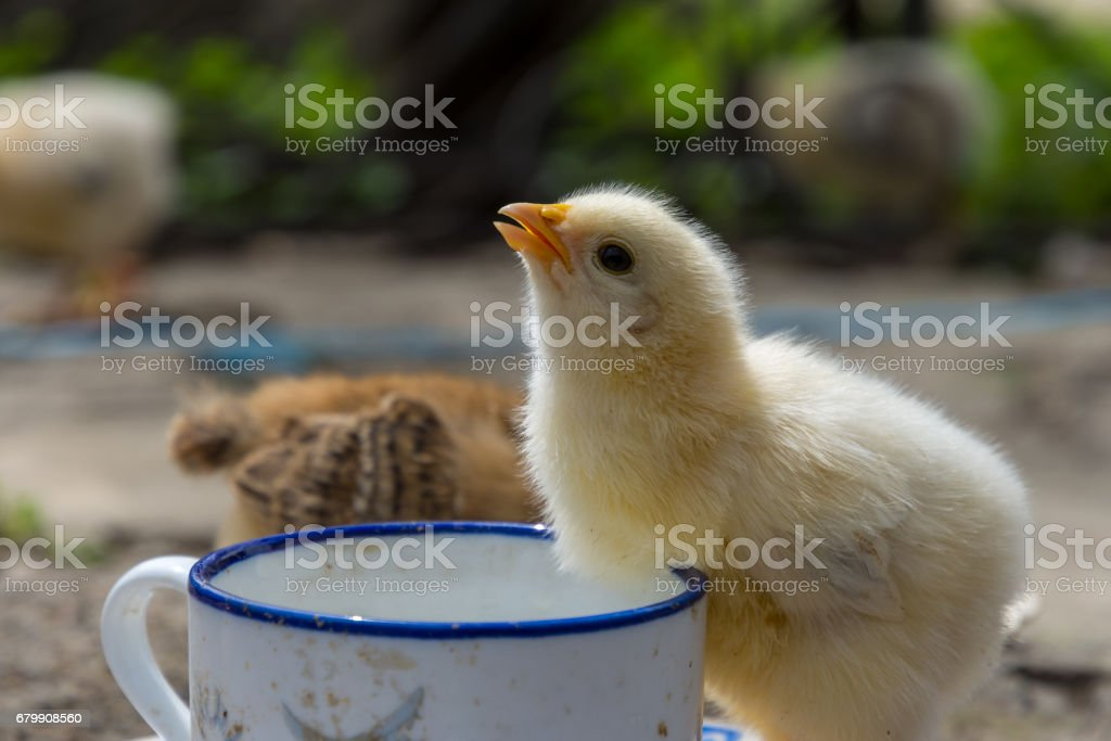 Baby chicken in a rural traditional farm stock photo