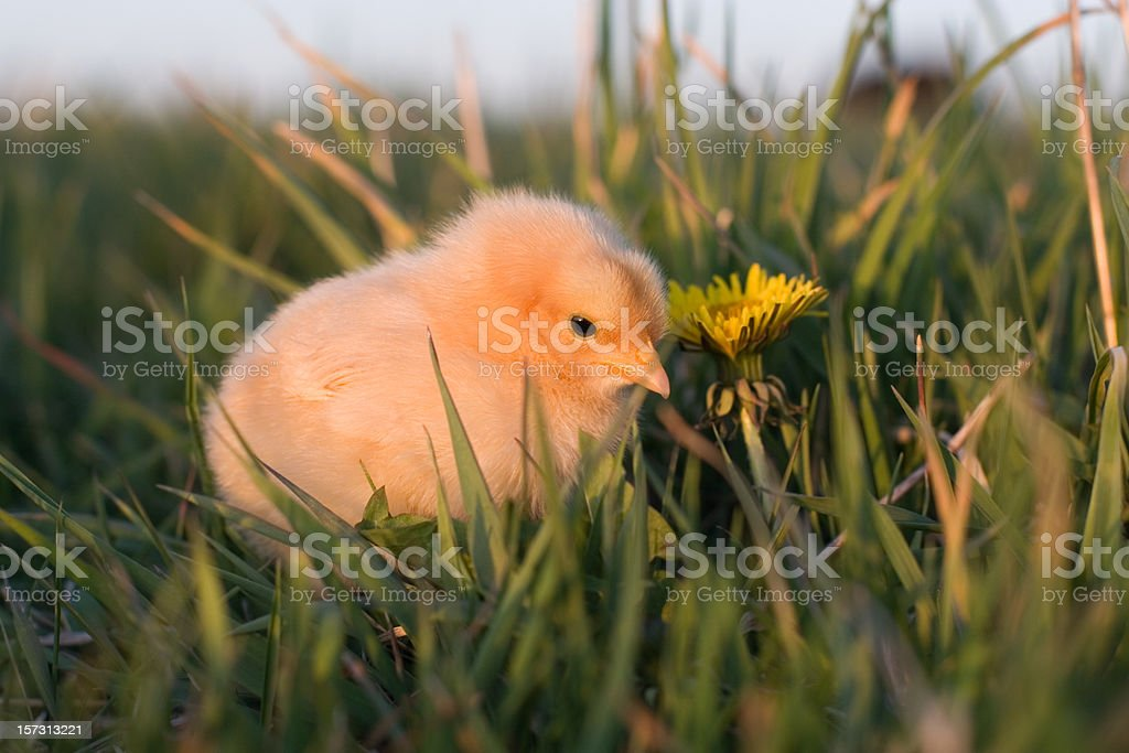 Baby Chicken in Grass royalty-free stock photo