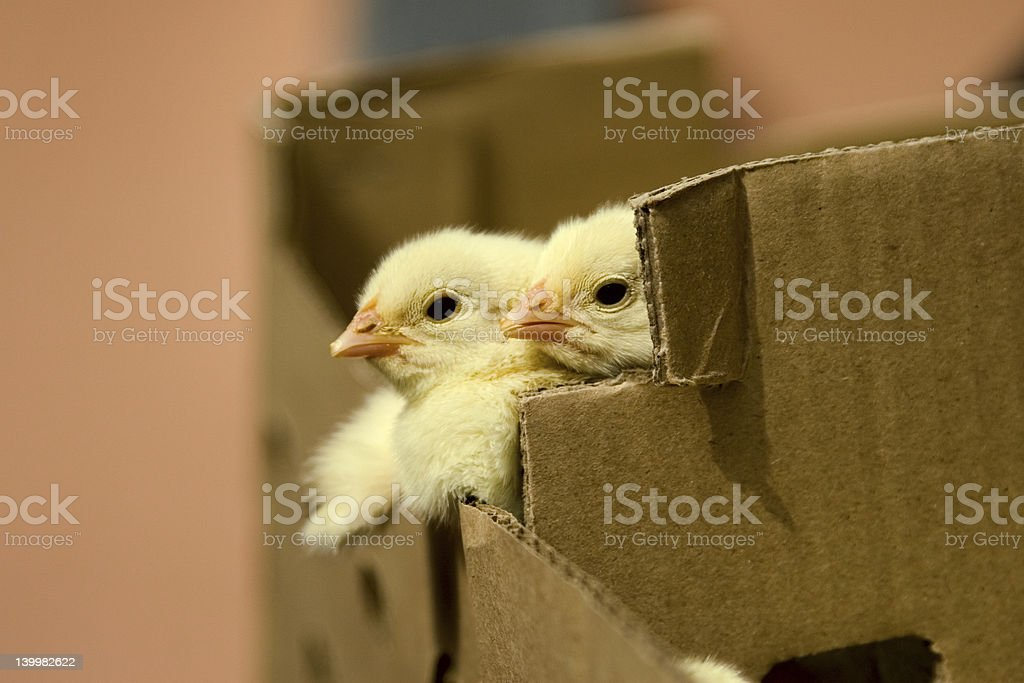 baby chicken in the box stock photo