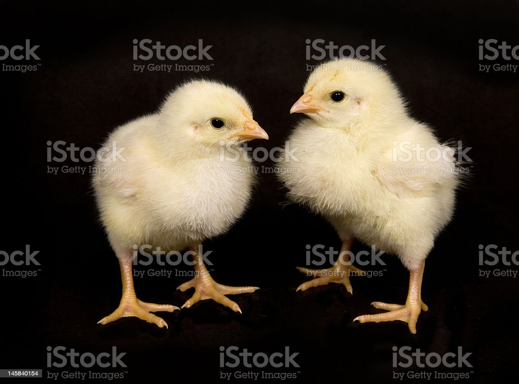 baby chicken on black background royalty-free stock photo