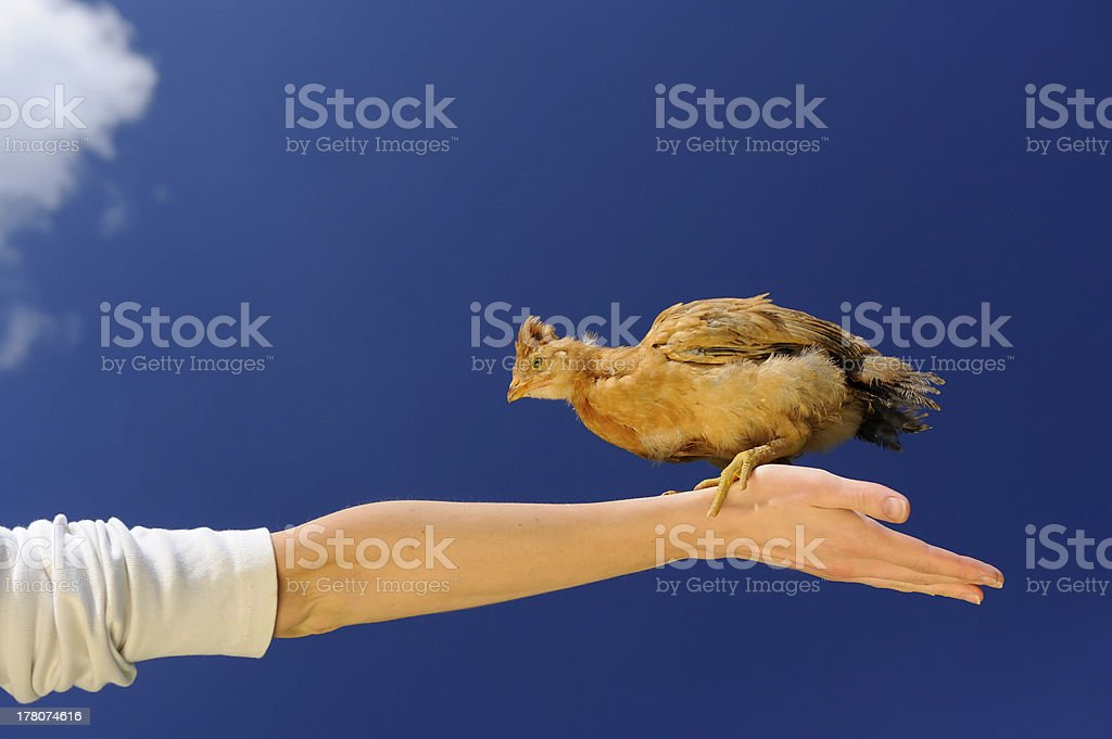 Baby Chicken on Spread Arm Against Blue Sky royalty-free stock photo