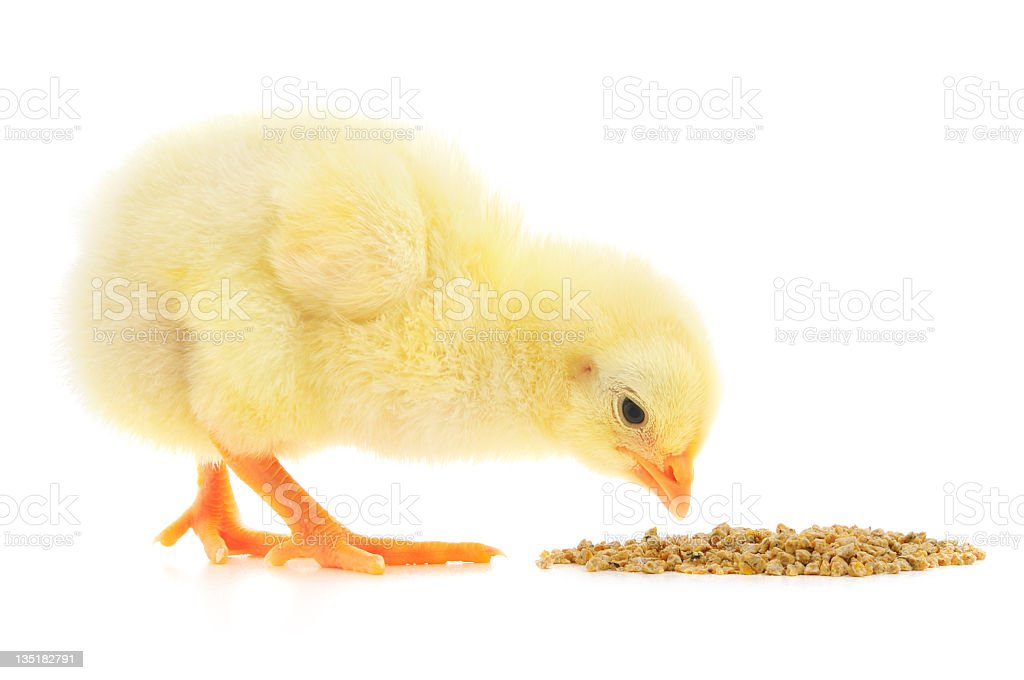 Baby chicken pecking at food on white background stock photo