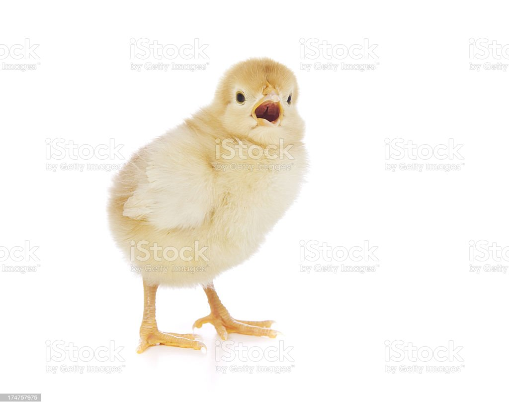 Baby Chicken royalty-free stock photo