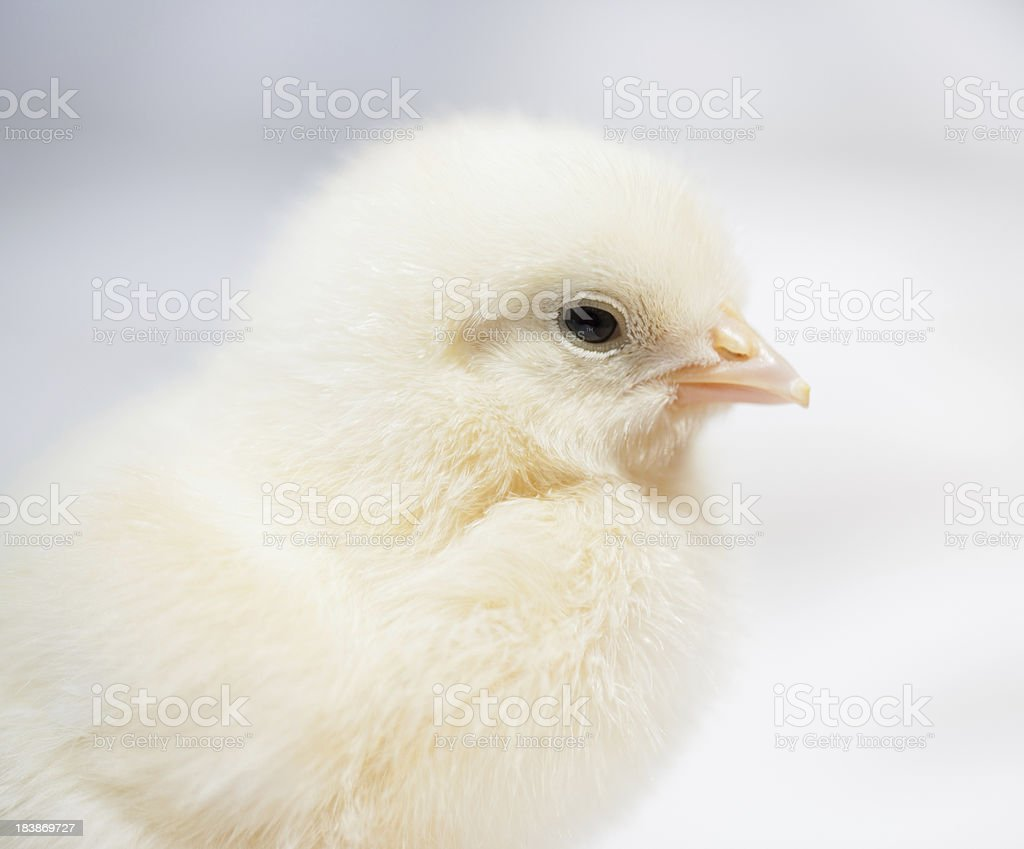Baby chicken portrait. royalty-free stock photo
