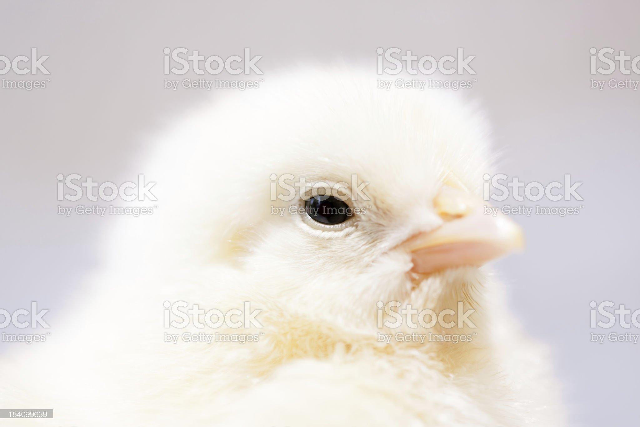 Baby chicken portrait. royalty-free stock photo