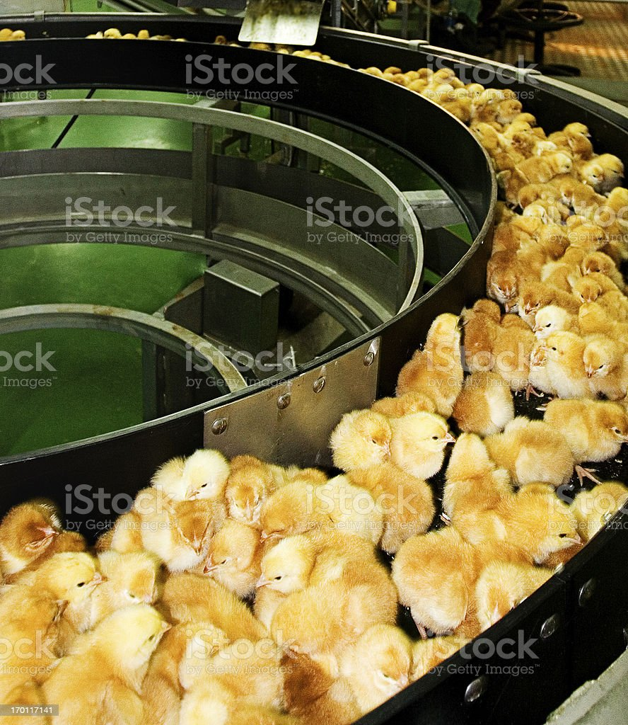 Baby chicken production stock photo