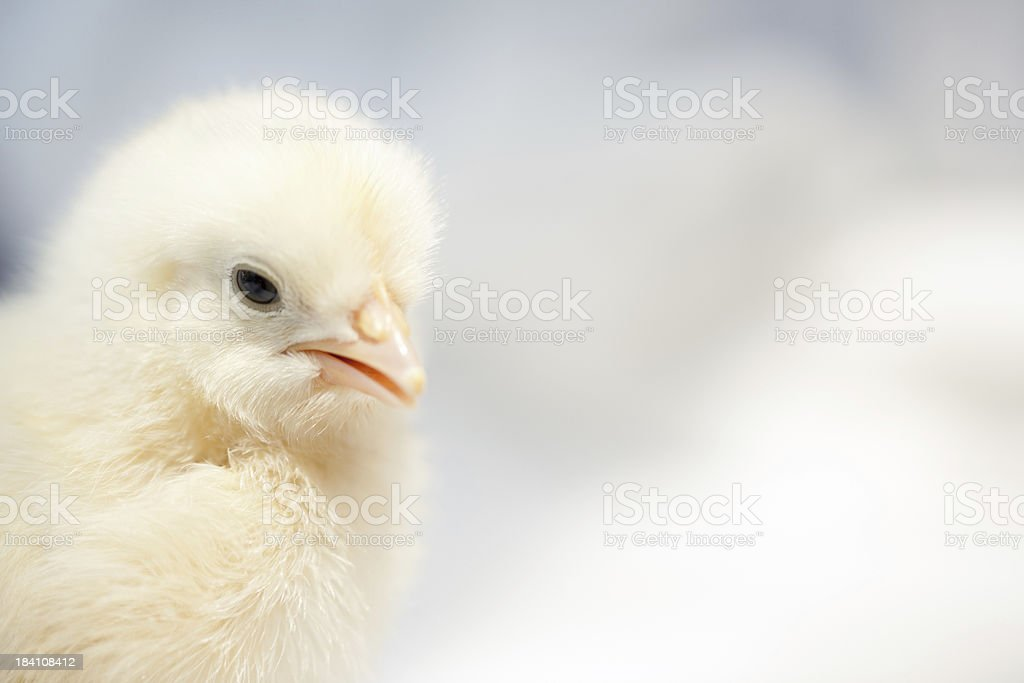 Baby chicken with copy space royalty-free stock photo