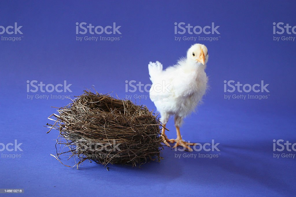 Baby Chicken with  Empty Nest royalty-free stock photo
