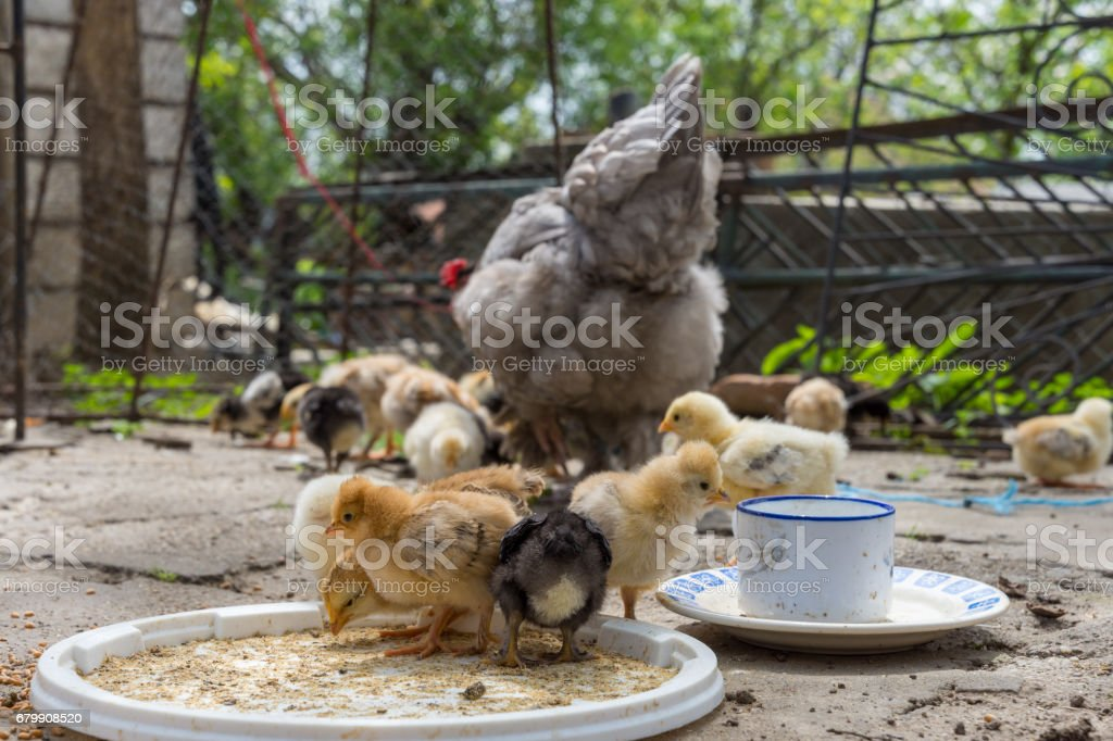 Baby chicken with their hen stock photo
