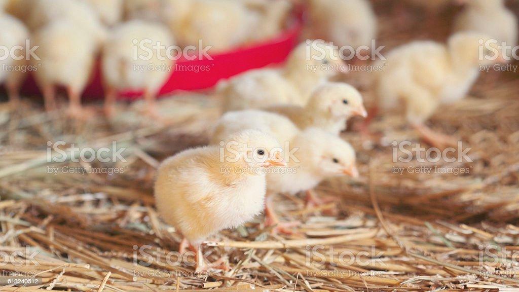 Baby chickens at farm feeding stock photo