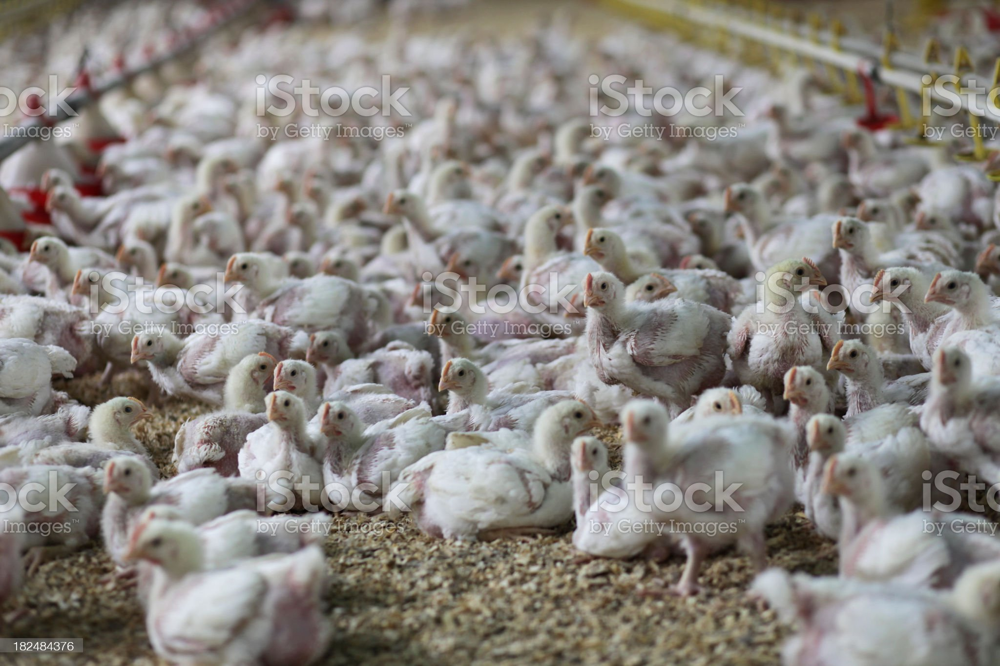 Baby Chickens in the Chicken Farm royalty-free stock photo