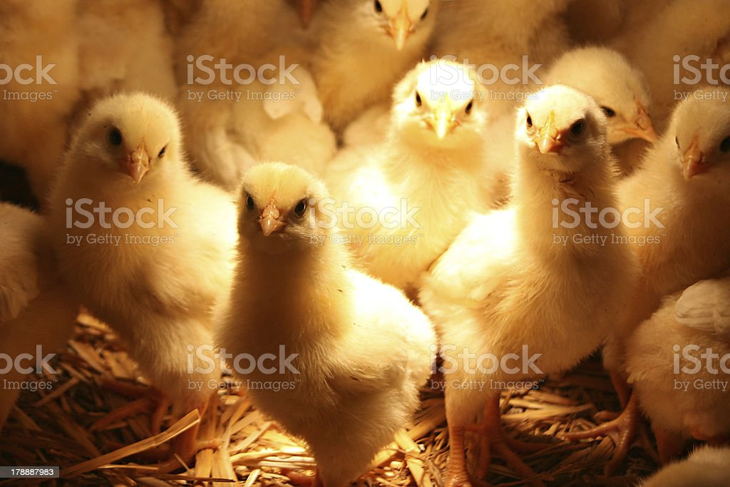 Baby Chickens royalty-free stock photo