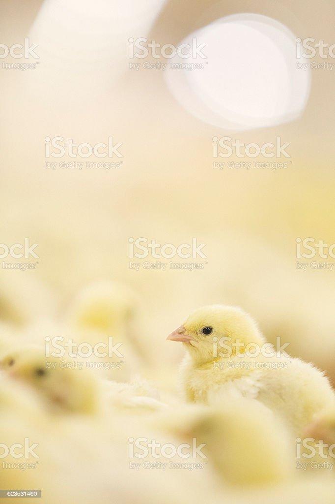 Baby chickens stock photo
