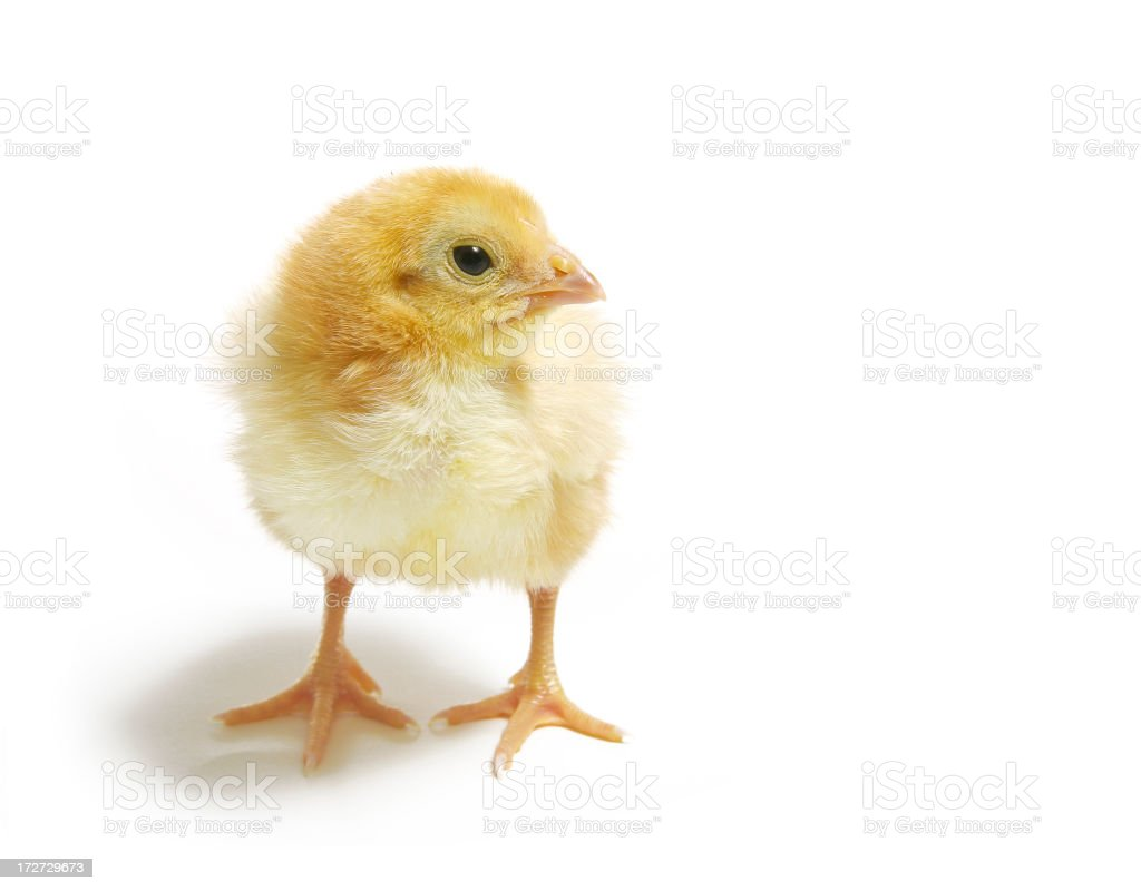 Baby Chickie royalty-free stock photo