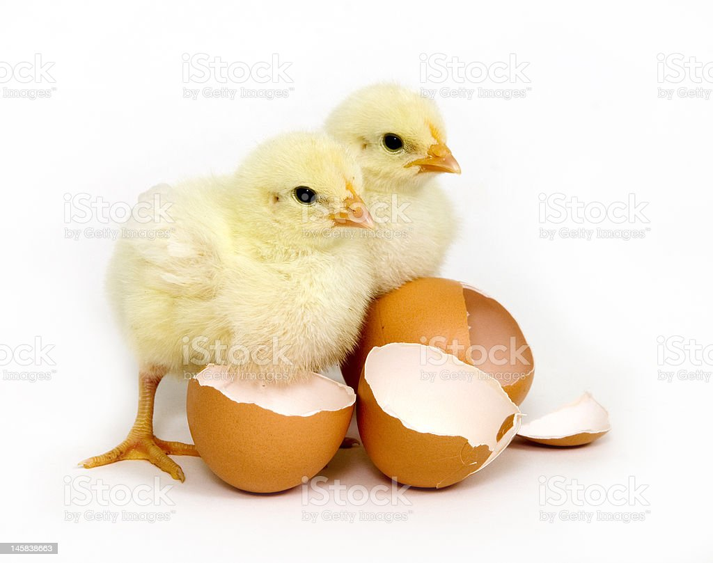 Baby chicks and brown eggs royalty-free stock photo