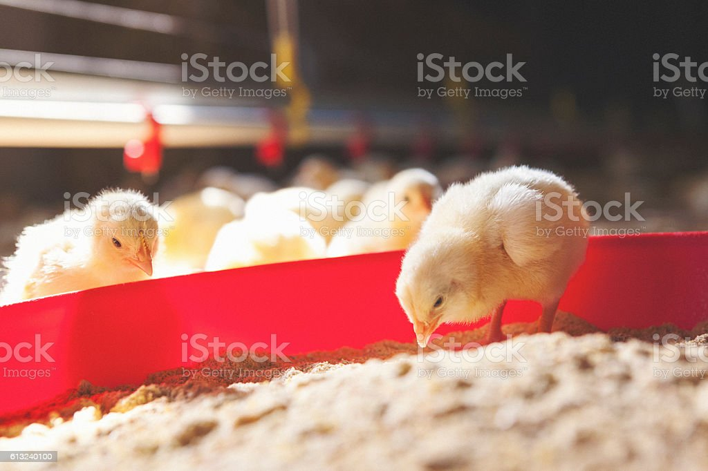 Baby chicks at farm feeding stock photo