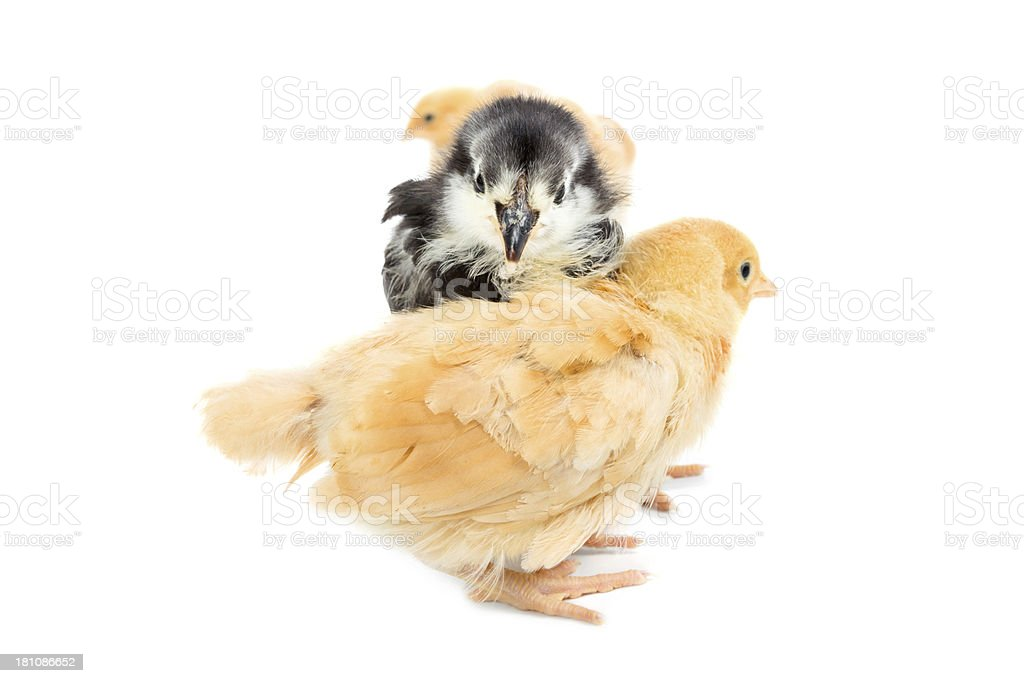 Baby chicks in a row royalty-free stock photo
