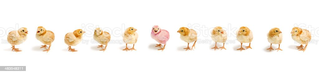 Baby Chicks In A Row (XXL) stock photo