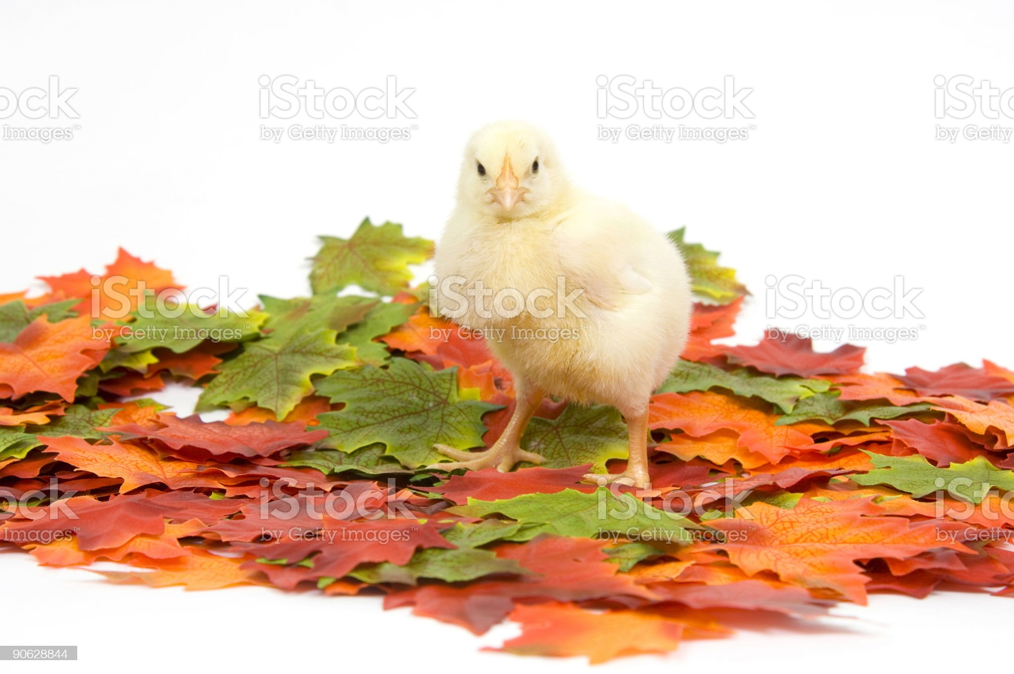 baby chicks in fall leaves royalty-free stock photo