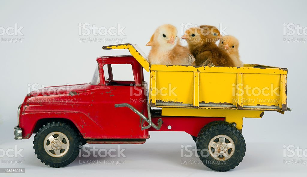Baby Chicks Newborn Farm Chickens Ride Dump Truck stock photo